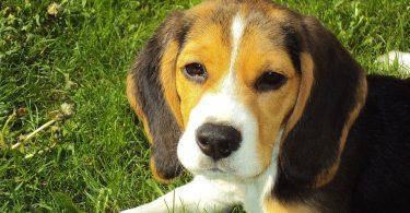 Beagle chien pour toute la famille